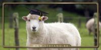 pecore e laureati